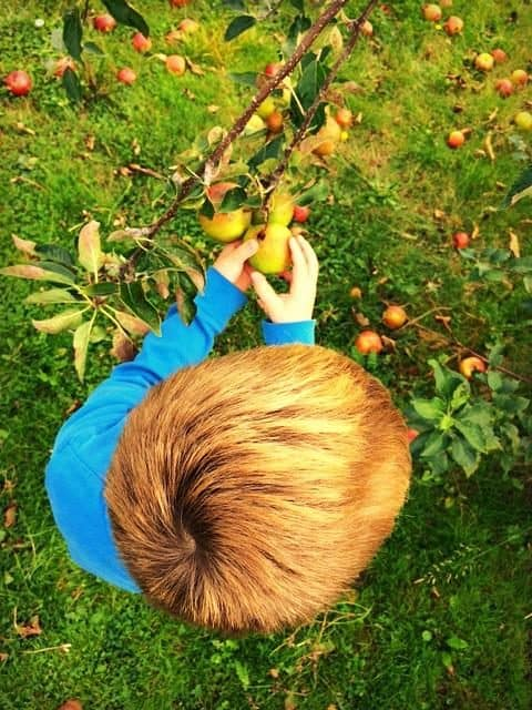 Little boy in blue top picking apples off a tree