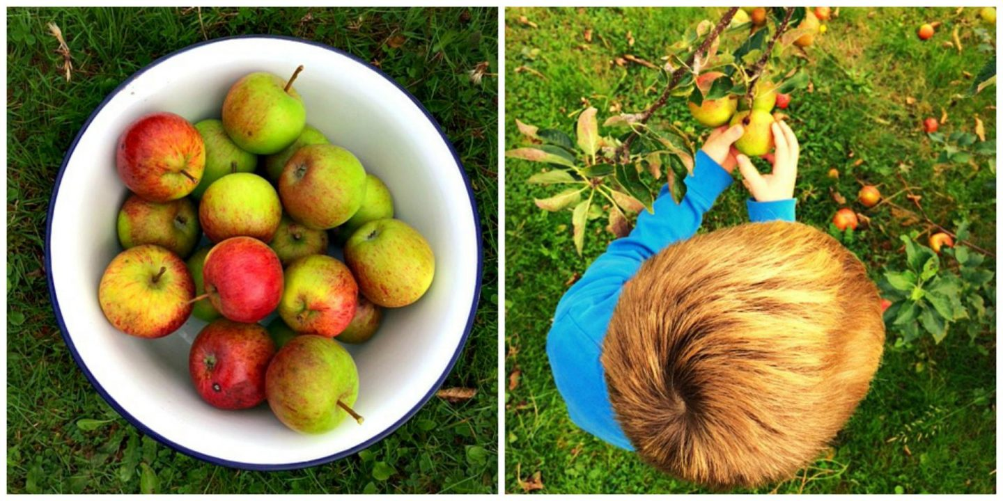 two photos, the first one on the let is a bowl of red and green apples in a white bowl. Right picture is alittle boy in a blue top picking apples off a tree